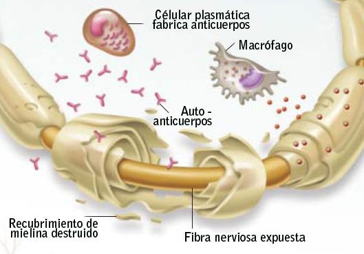 immuneSystemPeripheralNerv3s